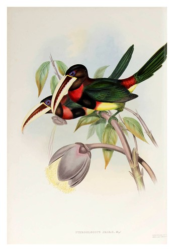 017- Araçari Azcara-Supplement of the Ramphastidae or family of Toucans Gould John-1855