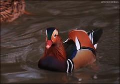 Mandarin Duck (MegaBuhMann) Tags: canon ente mandarinen niedersachsen dorka 500d lennard