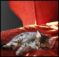 Sunnie Sunning Nov 21 2011 (Suzen JueL - Resistance) Tags: minnesota kittens mainecoon kitties mittenpaw fantoe suzenjuel 7weekoldkitty hemmingwaypaw