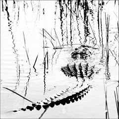 Thankfully, not hungry today! (IRainyDays) Tags: bw alligator floridaeverglades