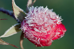 Frozen (Oscar von Bonsdorff) Tags: morning november winter red snow cold flower ice fleur rose yellow start canon espoo suomi finland studio frozen frost finnland flor freezing beginning pro blomma  fiore blte jorvi photographing jrvenp xsi iek  kwiat uusimaa canon100macro nyland 2011 kukka  grndal esbo petas fosty canon100mm 450d trsknda  canonf28macro jorv canonef100mmf28lmacroisusm canonmacrol  oscarvonbonsdorff canon100lmacro cityofespoo canon10028l canon100isl