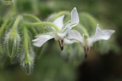 Borage (louisa_catlover) Tags: park plant nature garden spring australia bluemountains nsw botanicgardens mttomah mttomahbotanicgardens mounttomah mounttomahbotanicgardens