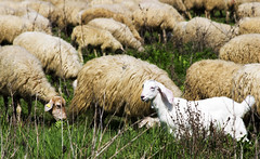 I'm young! (Elena Zarelli) Tags: italy roma animal sheep natura animale pecora