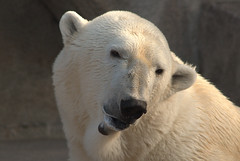 """You came all the way to Milwaukee to see little 'ol me?"" (ucumari) Tags: county wisconsin zoo oso march polarbear milwaukee willie willy 2012 wilhelm ursusmaritimus specanimal ucumariphotography dsc7139"