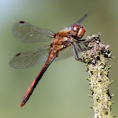 Common Darter  (Ger Bosma) Tags: macro closeup dragonfly libelle liblula awd libellule libel wow1 commondarter sympetrumstriolatum bruinrodeheidelibel symptrumstri img21301 groseheidelibelle mygearandmediamond ringexcellence artistoftheyearlevel3 artistoftheyearlevel4 musictomyeyeslevel1 exitmgm flickrstruereflection1 flickrstruereflection2 flickrstruereflection3 flickrstruereflection4 flickrstruereflection5 flickrstruereflection6