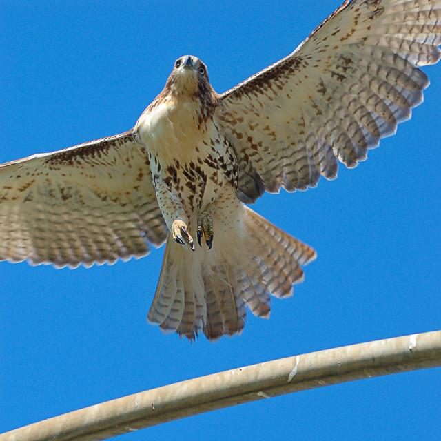 Tilles Park, hawk