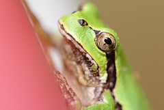 through your eyes (^-^) ( Spice (^_^)) Tags: pink white macro green eye art colors animal japan photography photo flickr image bokeh picture frog toad tiny