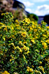 Yellow_Flowers (xris74) Tags: flower nature fleur yellow jaune canon europe dof bokeh natur gelb luxembourg blume simple howald 5d2 xris74