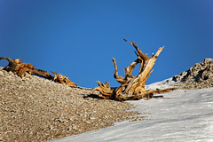 Old and Weathered (fantommst) Tags: california usa snow tree pine forest us ancient bare national trunk barren bristlecone inyo