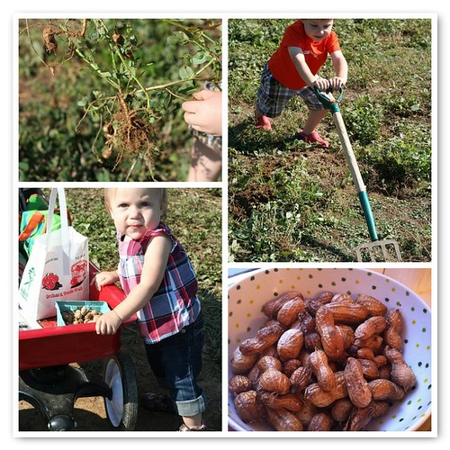 digging peanuts at Hollin Farms