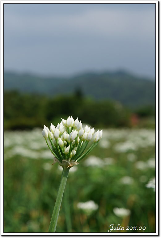 韭菜花~ (6)