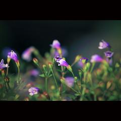 Lovely wildflowers (-clicking-) Tags: lighting flowers light macro green floral beautiful garden flora pretty dof purple blossom bokeh small charm vietnam tiny bloom wildflowers lovely charming colorsonblack hoadi bestcapturesaoi doubleniceshot vietnameseflowers musictomyeyeslevel1