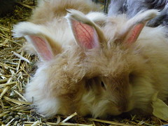 Sleepy time (ixchelbunny) Tags: rescue rabbit bunny bunnies rabbits angora ixchel ixchelbunny