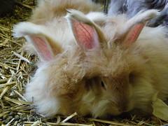 Sleepy time (ixchelbunny) Tags: rescue rabbit bunny bunnies rabbits angora ixchel ixchelbunny
