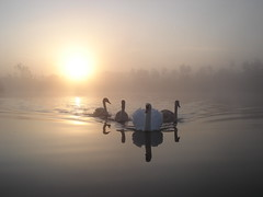 Sunrise Swans (bryangarnett1 (trying to catch-up)) Tags: autumn dawns 2011