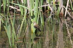 Australian Reed-Warbler (R_P_F) Tags: bird nsw wallerawang australianreedwarbler lakewallace