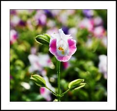 close-up #5 [explored] (e.nhan) Tags: life pink light flower green art nature closeup colorful colours dof bokeh backlighting enhan