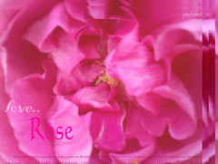 pink rose <3 (*. Talents .*) Tags: color love rose
