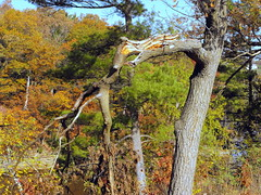 Twisted Tree Limb. (dccradio) Tags: travel autumn autumnfoliage trees sky tree fall tourism leaves pinetree wisconsin sticks branches bluesky autumnleaves fallfoliage foliage evergreen greenery limb wi wisconsindells riverwalk wisconsinriver coloredleaves riverdistrict