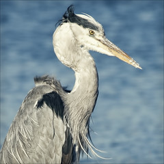 grey heron, blue water (Black Cat Photos) Tags: uk blue autumn portrait england lake bird heron nature water blackcat photography grey photo europe wildlife feather windy sunny m naturereserve blown greyheron rspb leightonmoss blackcatphotos