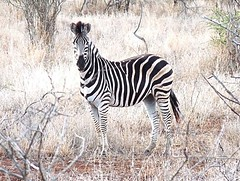 Kruger National Park (Globetreka) Tags: africa animals southafrica wildlife zebra krugernationalpark allwelcome 100perfect mygearandme mygearandmepremium mygearandmebronze mygearandmesilver mygearandmegold musictomyeyeslevel1