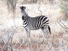 Kruger National Park (Globetreka) Tags: africa animals southafrica wildlife zebra krugernationalpark allwelcome 100perfect mygearandme mygearandmepremium mygearandmebronze mygearandmesilver mygearandmegold musictomyeyeslevel1