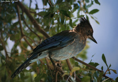 Stellars Jay (Jairo Galbis ) Tags: california usa bird animal unitedstates yosemite animales 2007 pjaro canoneos400d mygearandme jairogalbis