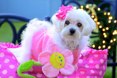 Little Angel (Moniza*) Tags: dog pet animal angel puppy furry nikon little canine explore snowball maltese d90 explored moniza