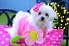 Little Angel [EXPLORE] (Moniza*) Tags: dog pet animal angel puppy furry nikon little canine explore snowball maltese d90 explored moniza