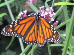 An October Monarch... (ccindigirard) Tags: brooklyn monarch shiningstar naturesbest brooklynbotanicalgardens aclass citrit thenaturegroup butterflygallery colourartawards qualitypixels butterflieswithflowers brigettesbeautifulnature floripondiosandbixos