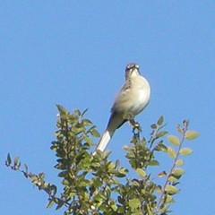 Mockingbird on duty