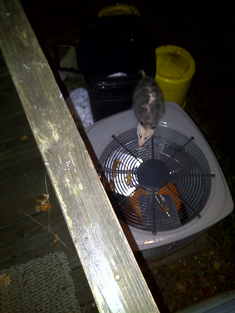 The opossum in my back yard