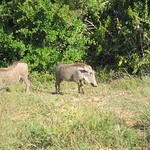 "Warthogs <a style=""margin-left:10px; font-size:0.8em;"" href=""http://www.flickr.com/photos/14315427@N00/6299259060/"" target=""_blank"">@flickr</a>"