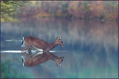 The Crossing (hvhe1) Tags: autumn holland fall nature animal swim river stream fallcolor cross wildlife herfst thenetherlands deer antlers bok fallowdeer buck youngster awd gewei interestingness4 damhert amsterdamsewaterleidingduinen specanimal hvhe1 hennievanheerden