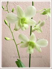 Dendrobium phalaenopsis, a white variety (ID please?)