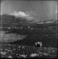 Campo Imperatore (Robignuud) Tags: bw 6x6 film landscape cow animali abruzzo mamiyac220 landscape6x6