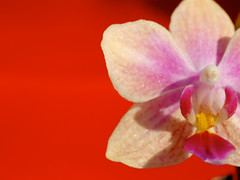 Sparkly little thing (Gay Foster) Tags: pink orchid flower closeup sparkles redbackground