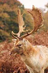 Deer at Knole (yve1964) Tags: autumn animals canon reindeer eos kent stag wildlife deer nationaltrust roedeer reddeer sevenoaks knole 550d autumnwatch