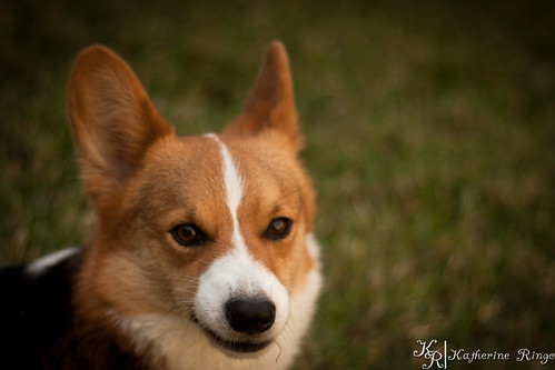 BY-Corgi-lenshood-0923