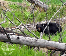 Wildlife Photography Number 20 – Black Bear at Yellowstone