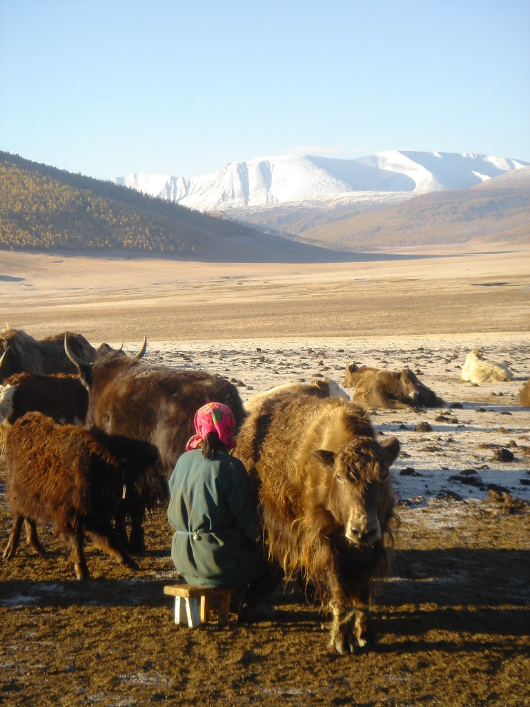 Traite matinale de yack fin septembre, Sum de Khangaï (bag de Noyon Khangaï), Arkhangaï, Mongolie