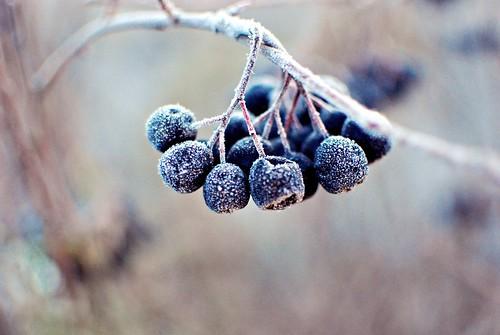 frostberrycin