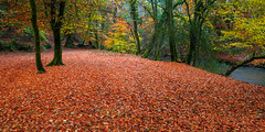 Panorama of autumn (snowyturner) Tags: november autumn trees panorama fall leaves golden woods rustic plymouth devon plymbridge riverplym