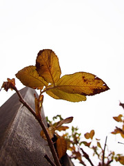 Old leaves... (capstick13) Tags: autumn orange brown green leaves leaf lookingup prettycolours unusualangle uptothesky takealeaf