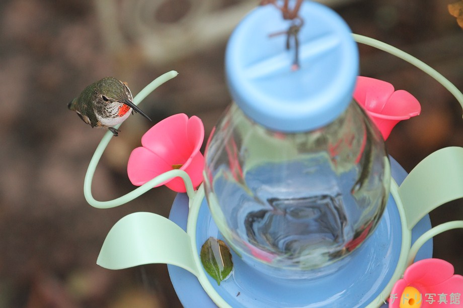 Allen's Hummingbird111311-3