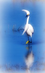 Fashionista - Bird - Snowy Egret - Golden Slipper (blmiers2) Tags: reflection bird nature beautiful birds geotagged florida wildlife titusville avian snowyegret ardeidae ciconiiformes birdphoto cfbwbirdtour blm18 blmiers2