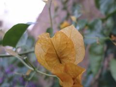 bouganville arancione ad Azemmour (Alberto Cameroni) Tags: flower macro fleur flora blossom flor morocco maroc marocco fiori blume fiore marruecos bouganville azemour azemmour floresbugambiliasveraneras azamor