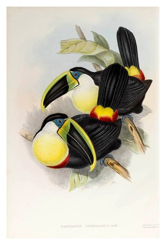 013-Tucan de pecho limon-Supplement of the Ramphastidae or family of Toucans Gould John-1855