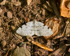 Unidentified Lepidopteran Photo