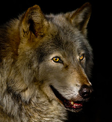Grey Wolf (Gary Wilson  ) Tags: ireland dublin nature animal canon photography eos grey zoo photo wolf european foto wildlife gray canine adobe 7d lobo loup lupus wolves phoenixpark greywolf canis dublinzoo canislupus canid 100400l europeanwolf graywolves garywilson lightshop platinumheartaward